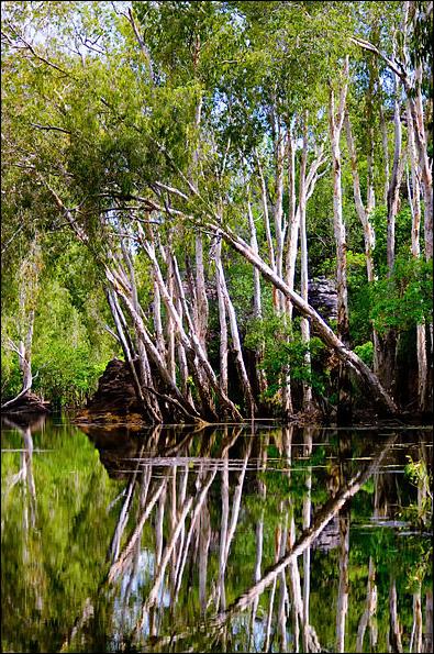 Melaleuca An Invasive Tree of Florida