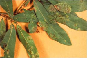 Oak Leaf Blister
