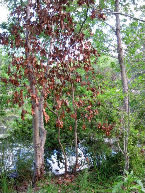 Laurel Wilt Disease in Pinellas County